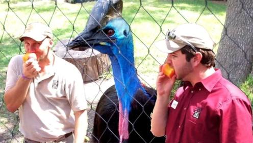 """澳洲有一种""""杀人鸟"""",在野外遇见它,最好直接转身跑掉!"""