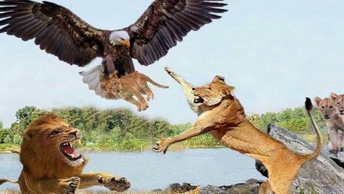 老鹰抓走狮子宝宝,狮子妈妈前去报仇,镜头记录激烈全过程