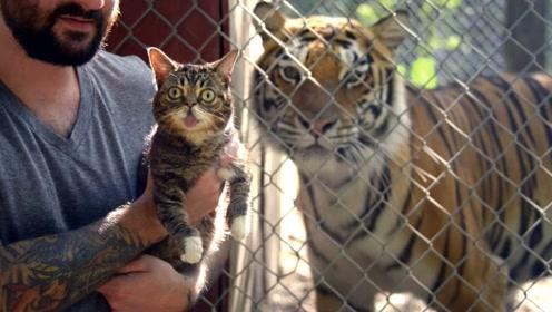 猫咪见到老虎,会怎么样?看到它的表情忍不住笑了