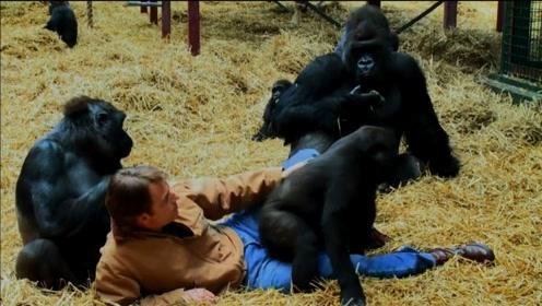 这份真爱叫做放手!帮助黑猩猩回归自然才是真爱!