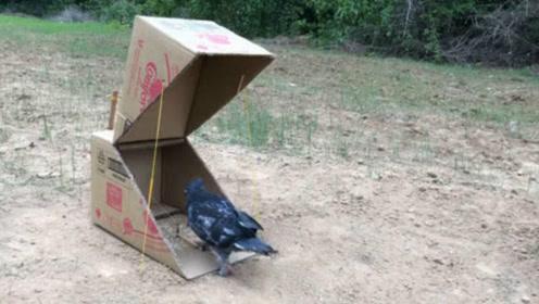 小男孩用纸箱制作陷阱,结果鸽子都往里面钻,真是太优秀了!