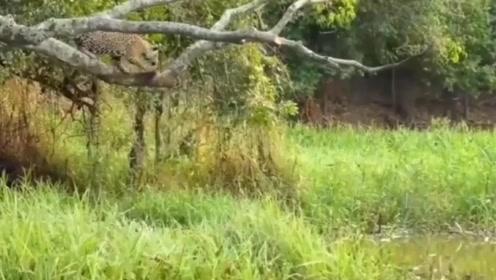 美洲虎从树上跳下捕食鳄鱼,鳄鱼完全没想到,鳄鱼:你不按套路出牌