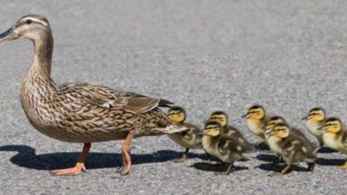 鸭妈妈带着孩子,忽然刮来一阵大风,接下来的画面够我笑一整天