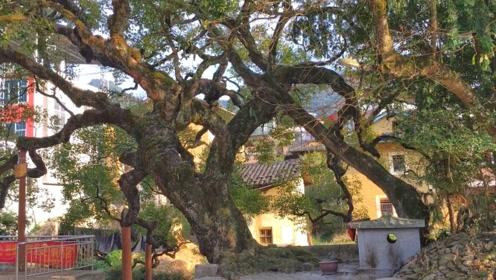 福建山村有一棵乌桕王,树底像鸟的脚掌,村里老人说不出它的年龄