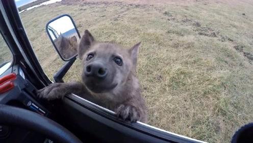 一条可怜兮兮的鬣狗向人求助,男子刚下车,下一秒意外发生