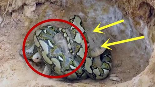 龟蛇相争!乌龟的复仇,趁蛇不备偷袭其巢