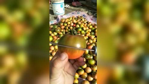 自然熟的碱地西红柿,切开是这样的!