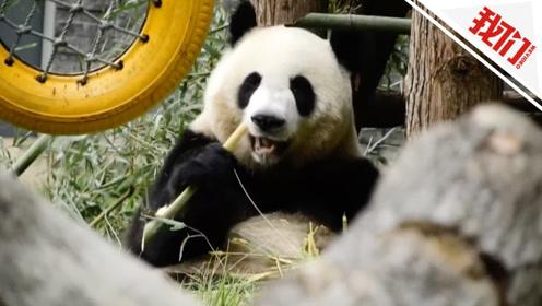 有味道的展览!动物园把大熊猫的粪便摆出来展出 还鼓励游客去闻一闻
