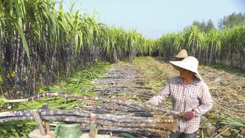 甘蔗刚采收,收购价却持续走低,5毛一斤难卖出,农民明年还种吗