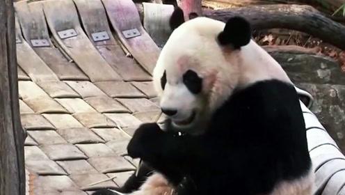 """旅美熊猫""""贝贝""""今日回家, 美国奶爸给它装了一大包好东西"""