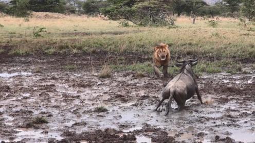 角马不甘心被雄狮捕食,顽强挣扎,一头撞向狮子!
