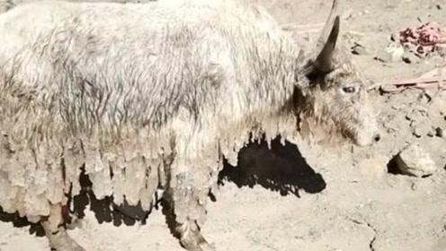 可怜的牦牛被冰冻住,幸亏好心人出手相助,不然小命都要丢掉了