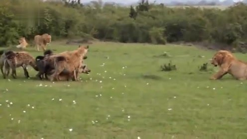 非洲二哥鬣狗以为狮子是吃素的,居然想要争夺狮子的地盘,大战一触即发