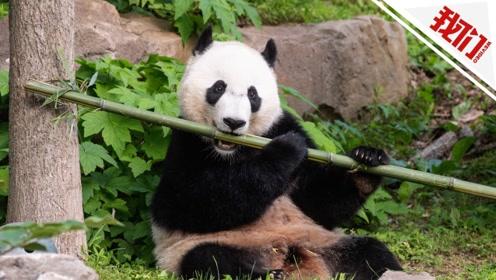 """旅美大熊猫""""贝贝""""满4岁乘专机回国 隔离期后将与公众见面"""