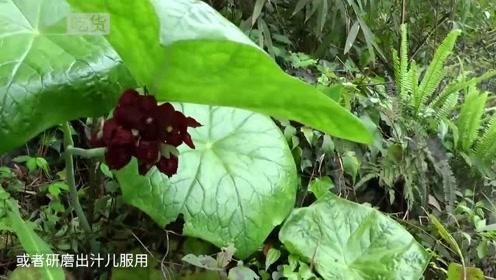 农村酷似雨伞的野草,治疗感冒又奇效,还能治疗蛇毒!