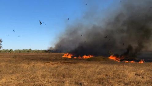 """澳洲这种会""""纵火""""的鸟,经常放火烧山,让当地农民苦不堪言!"""