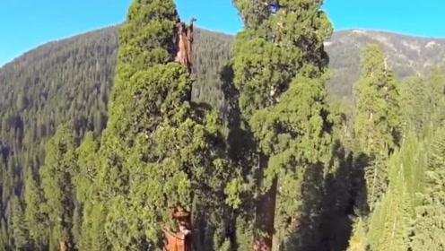 """最""""幸运""""的树,全球最高的树,至今未公布所在的生长地!"""