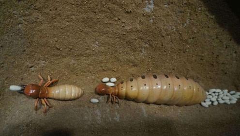 """假如蚁群中的""""蚁后""""死了,剩下的蚂蚁会变得怎么样?看完涨知识了"""