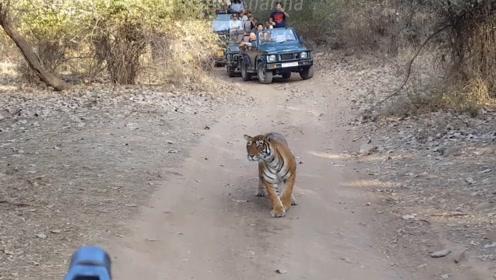山路偶遇一只老虎T39捕猎,这姿势没谁,会移动的木偶?