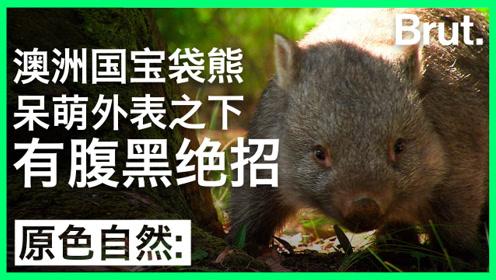 澳洲国宝袋熊:呆萌外表下有腹黑绝招