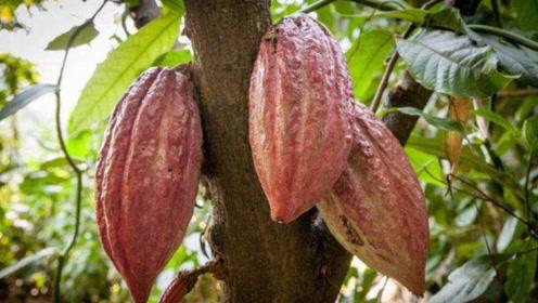 常吃的巧克力是树上长出来的?直播切可可果,太神奇了