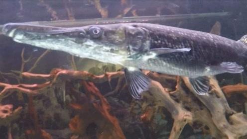 能吃光整个鱼塘的黑鱼,遇见鳄雀鳝有什么反应?秒怂有没有