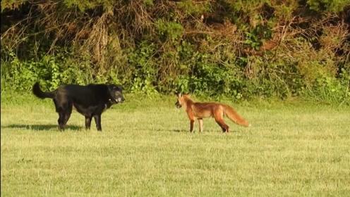 狐狸遇到狗,上去就是干,画面简直太搞笑了