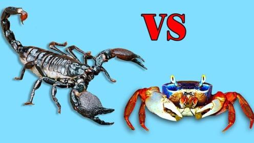 螃蟹和蝎子大战,谁的战斗力更强?谁是正真的钳子王?