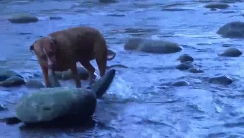 养狗千日用狗一时!男子想吃新鲜河鱼,机智的让狗狗下河捕捉