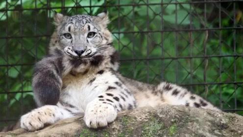 爱吃尾巴又喜欢收集自己的毛 雪豹这种生物简直神秘又蠢萌
