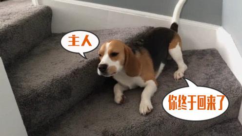 狗子疯狂地迎接主人,躺在地上扭成一坨麻花,这是有多激动
