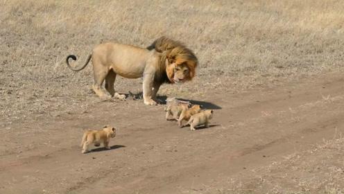 看这只雄狮是如何带娃的,差点笑岔气,简直是老爸带娃的真实写照