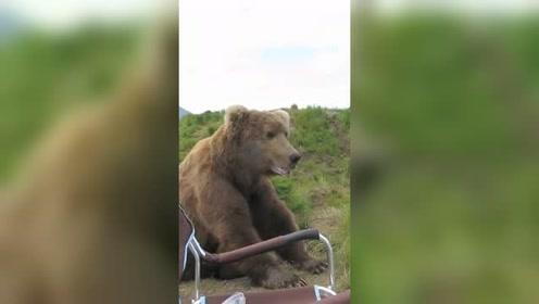 饥饿的棕熊,偶遇钓友钓鱼,想饱餐一顿