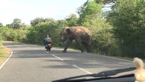霸道大象守在马路旁,疯狂袭击过往车辆,知道真相后却忍不住笑了