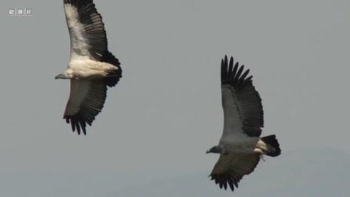 秃鹫能利用热气流进行滑翔,开启节能飞行模式!