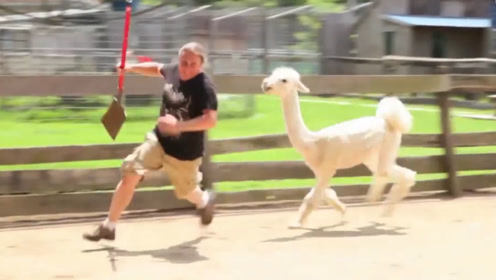 羊驼剪毛后疯狂报复主人,镜头拍下全过程