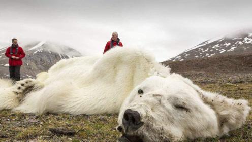 为什么给快要饿死的北极熊喂食,属于违法行为?看完涨知识了