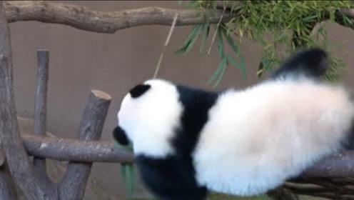 大熊猫坐在独木桥上啃竹子,不料用力过猛,下一秒意外发生了