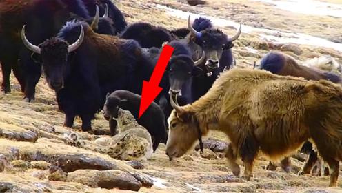 雪豹一口咬住小牦牛咽喉,牦牛妈妈疯狂报复!你是吃了豹子胆了?