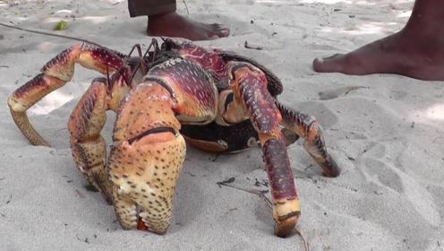 椰子蟹有多厉害,男子用棍子一试,没想到威力这么大