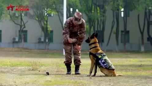 食物摆在嘴边也不吃 见识一下军犬的延缓训练