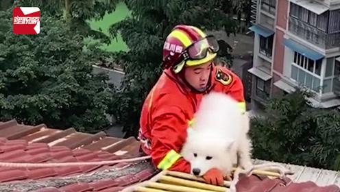 """萨摩耶爬7楼屋顶""""看风景""""被困,获救后撒腿就跑,消防员一脸懵"""