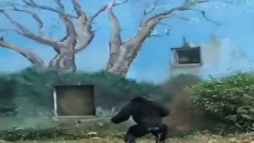 黑猩猩隔墙扔东西砸人,完事还扒窗户看结果,这是随机砸死一名路人吗?
