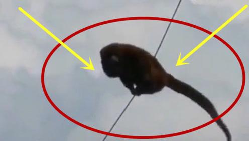 猴子高压线上玩的正开心,不料瞬间变火猴,下一秒难以置信