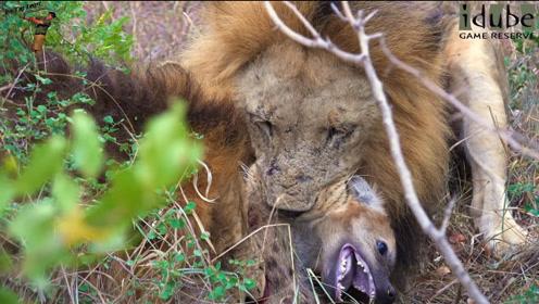 狮子一口咬死落单小鬣狗,鬣狗群发现尸体时,更残忍的事发生了!