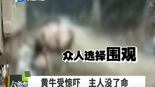 黄牛受惊吓 疯狂撞主人 主人抢救无效身亡
