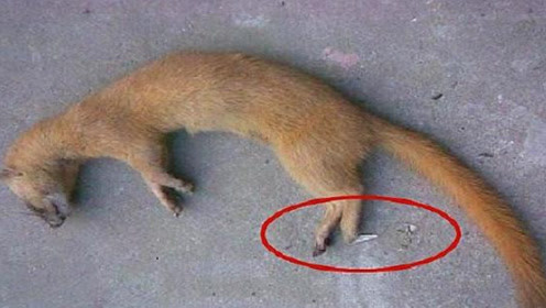 老一辈人为何说黄鼠狼不能杀?科学猜想,原来这个是真的