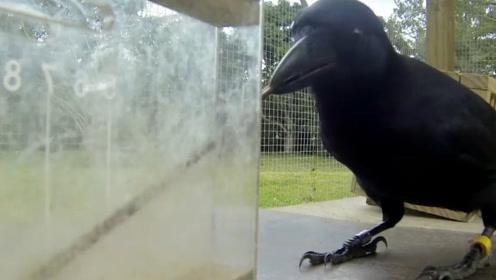 聪明的乌鸦,太有智慧了,镜头记录全过程