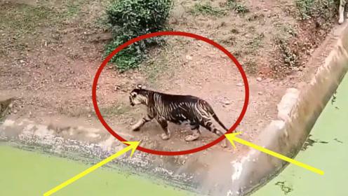 """印度发现稀奇""""黑色老虎"""",全球仅有一只,网友:墨水够足!"""
