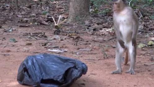猴子发现一个会动的塑料袋,好奇的上前查看,下一秒请憋住不要笑